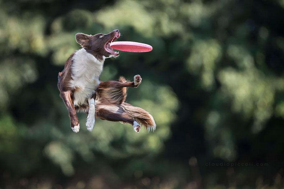 fotografia-cani-che-volano-frisbee-claudio-piccoli-06