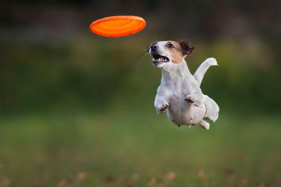 fotografia-cani-che-volano-frisbee-claudio-piccoli-08