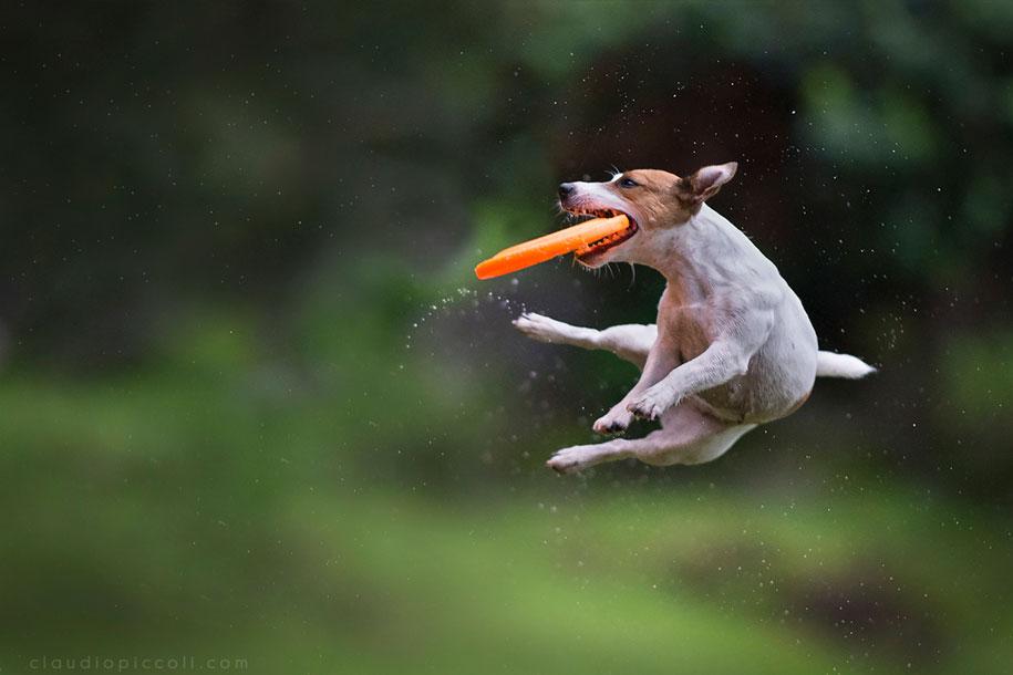 fotografia-cani-che-volano-frisbee-claudio-piccoli-10