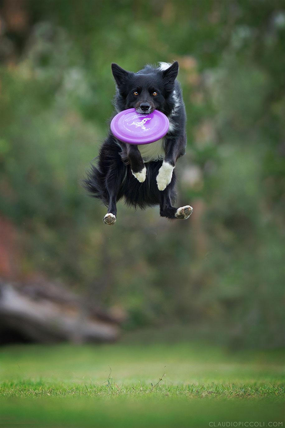 fotografia-cani-che-volano-frisbee-claudio-piccoli-11