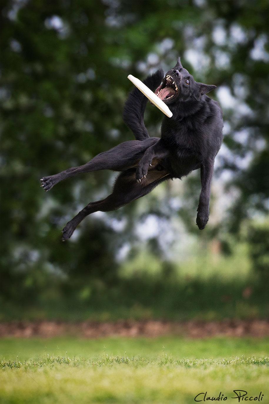 fotografia-cani-che-volano-frisbee-claudio-piccoli-12