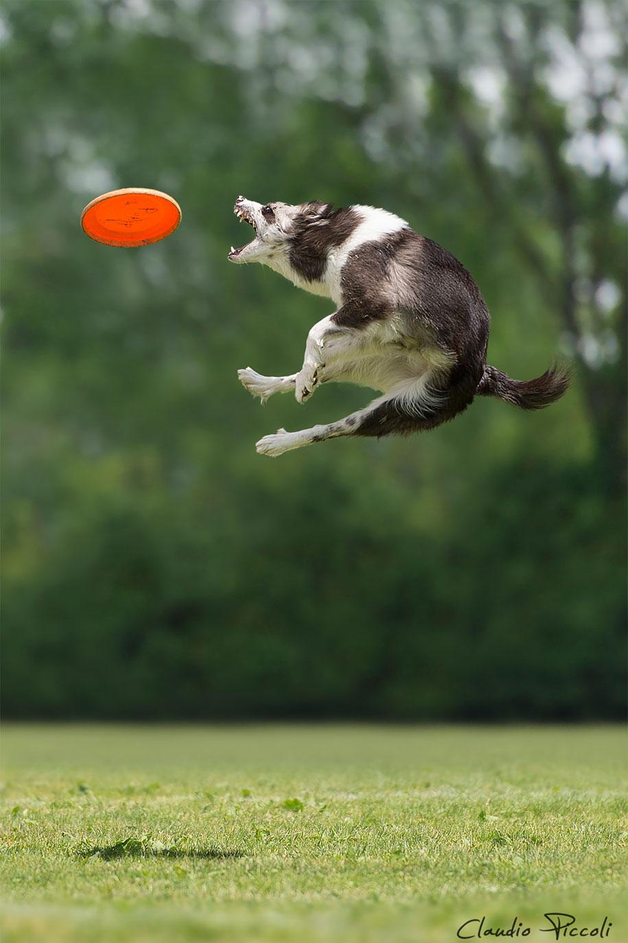 fotografia-cani-che-volano-frisbee-claudio-piccoli-14