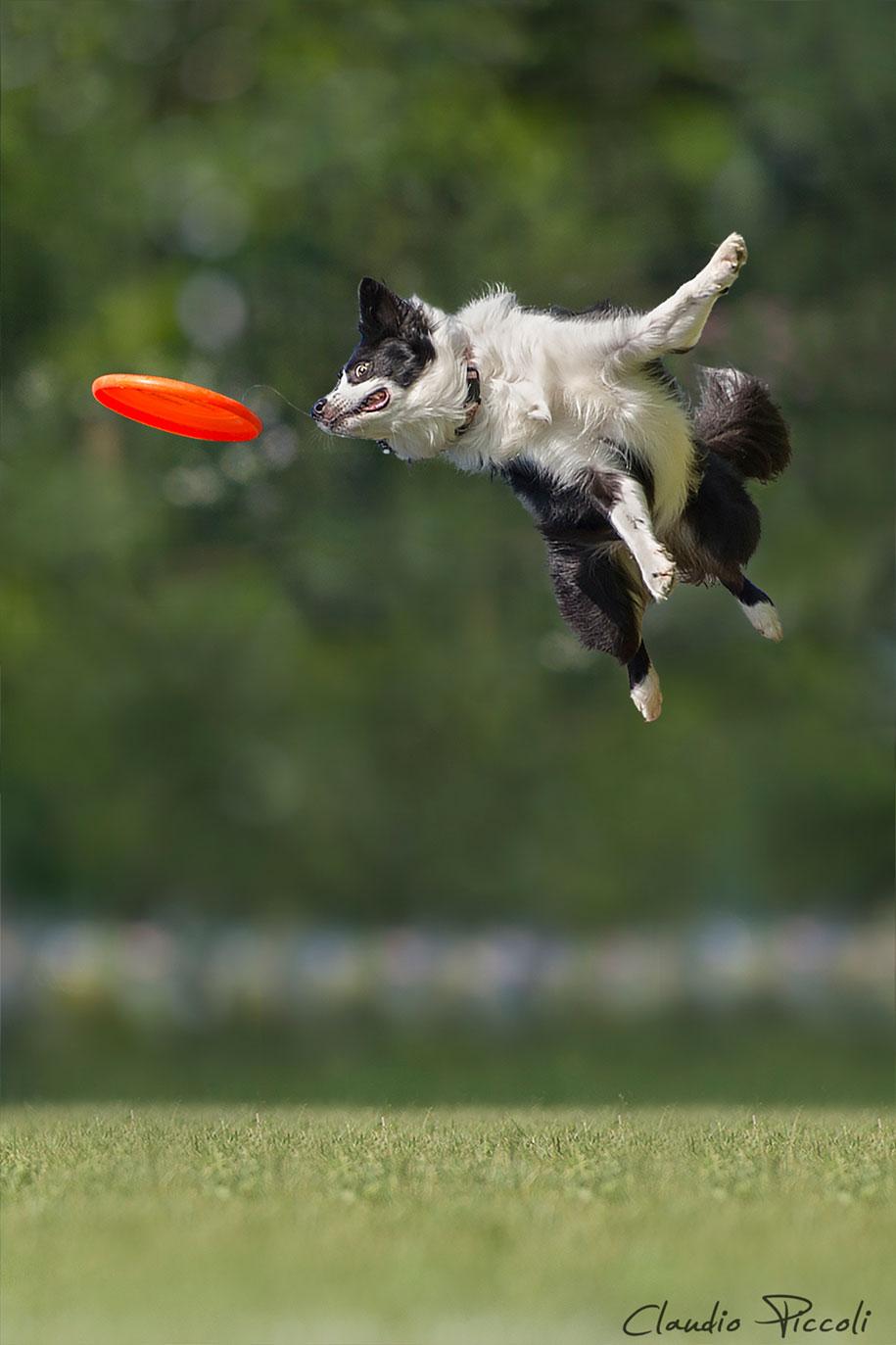 fotografia-cani-che-volano-frisbee-claudio-piccoli-15