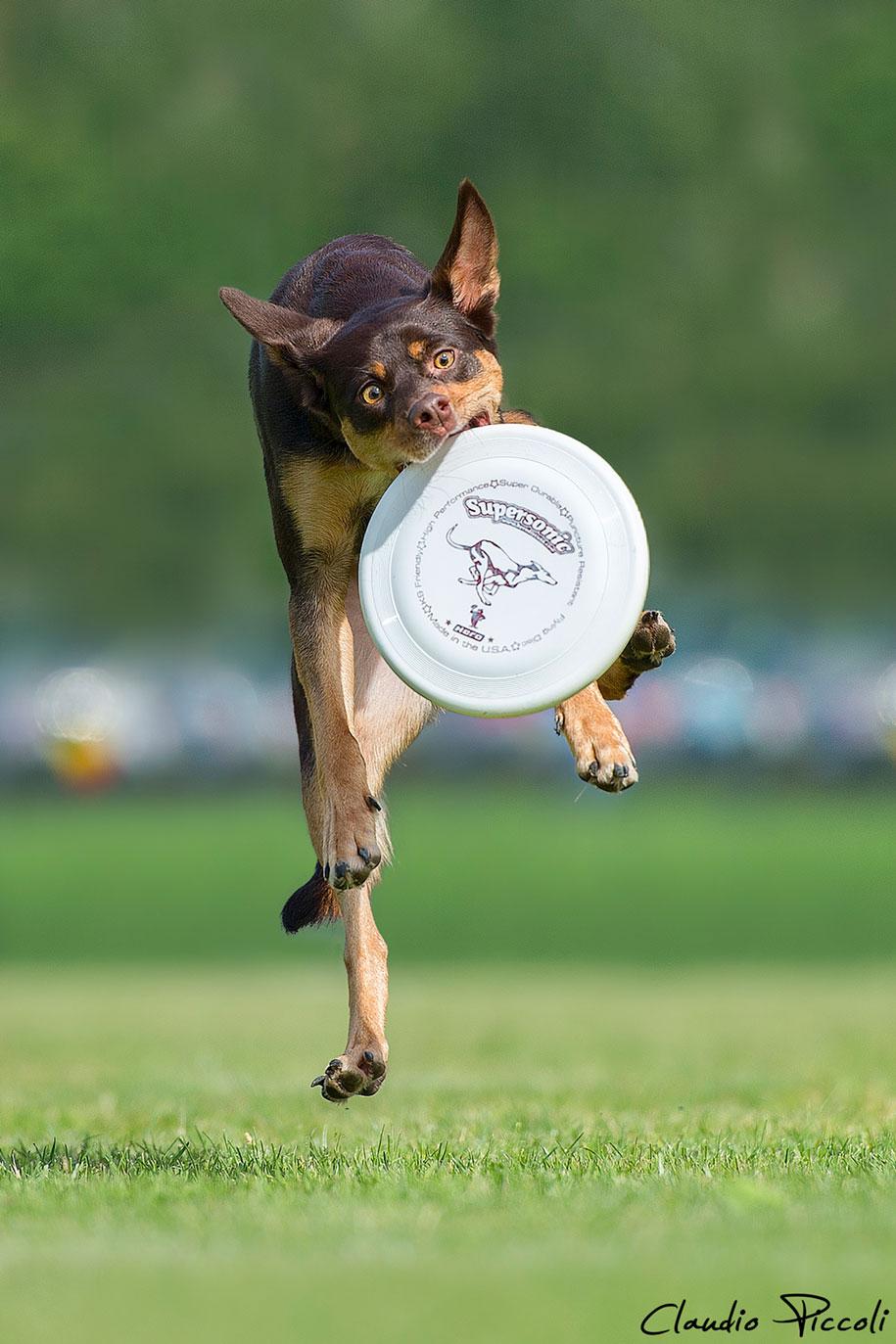 fotografia-cani-che-volano-frisbee-claudio-piccoli-16