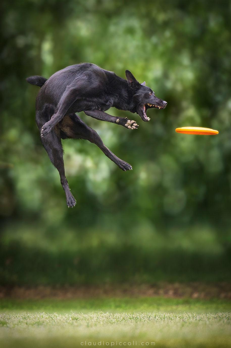 fotografia-cani-che-volano-frisbee-claudio-piccoli-18