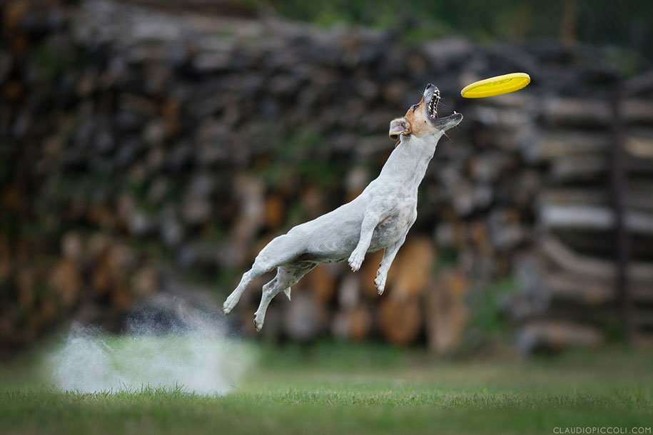 fotografia-cani-che-volano-frisbee-claudio-piccoli-19