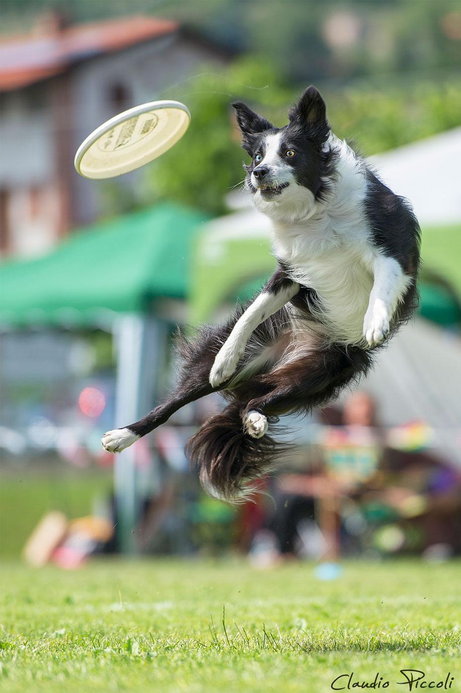 fotografia-cani-che-volano-frisbee-claudio-piccoli-20