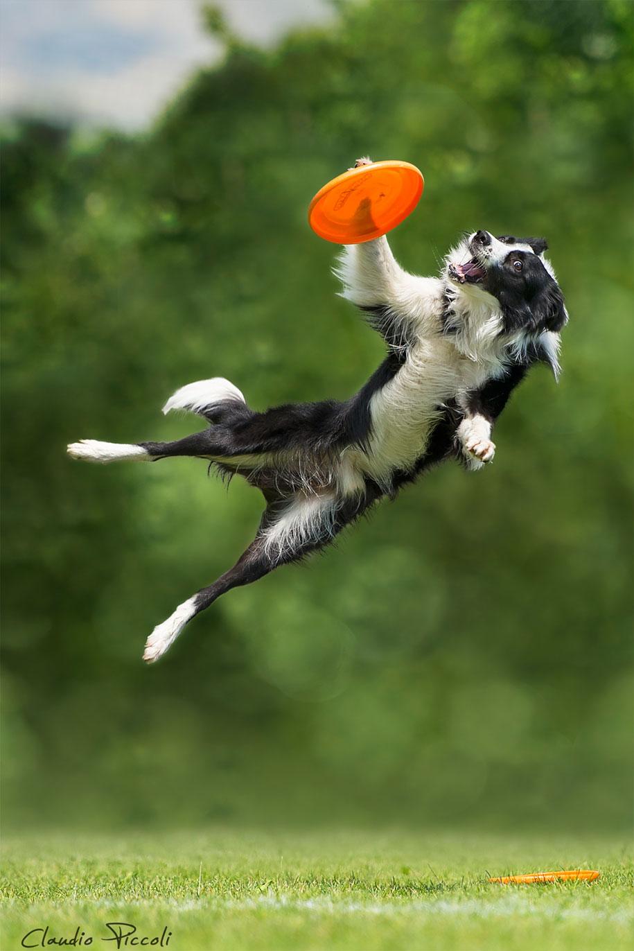 fotografia-cani-che-volano-frisbee-claudio-piccoli-21
