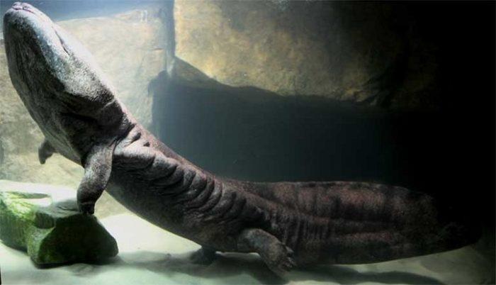 salamandra-gigante-cinese-200-anni-1