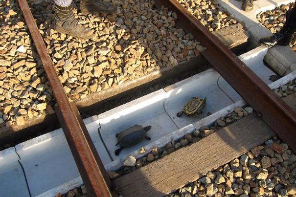 sottopassaggi-tartarughe-treno-ferrovie-giapponesi-1