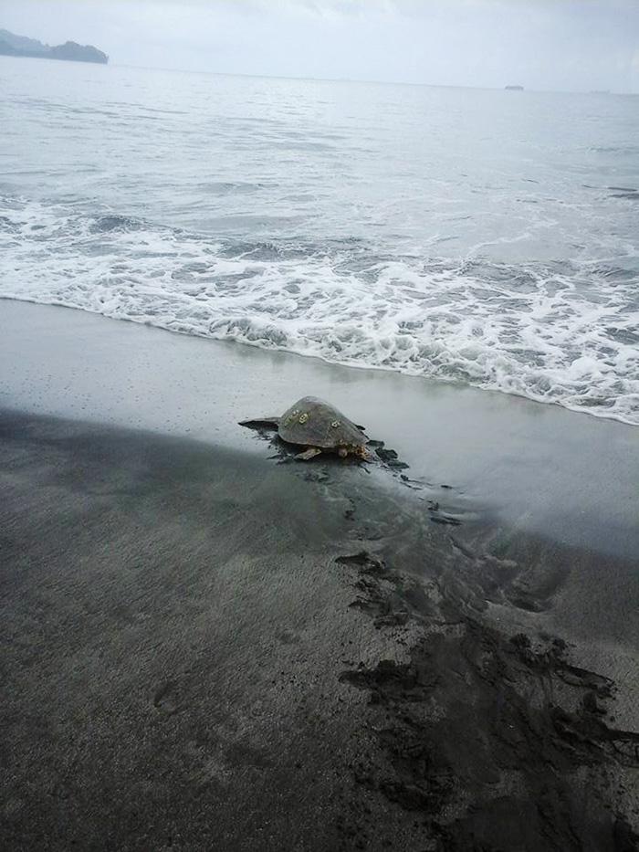 uomo-salva-tartarughe-marine-arron-culling-nuova-guinea-3