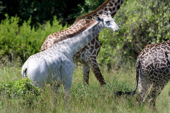 giraffa-bianca-leucismo-albina-animali-rari-omo-tanzania-1