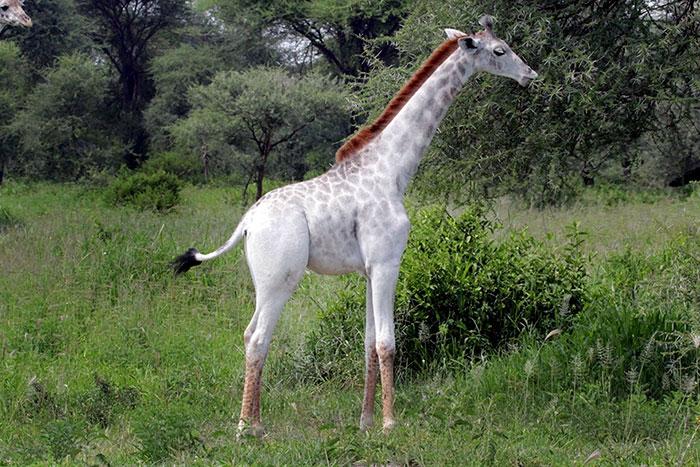 giraffa-bianca-leucismo-albina-animali-rari-omo-tanzania-2
