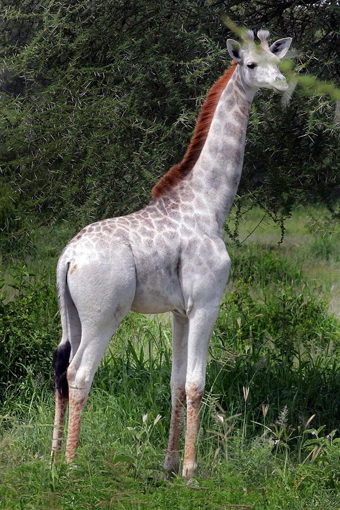 giraffa-bianca-leucismo-albina-animali-rari-omo-tanzania-3