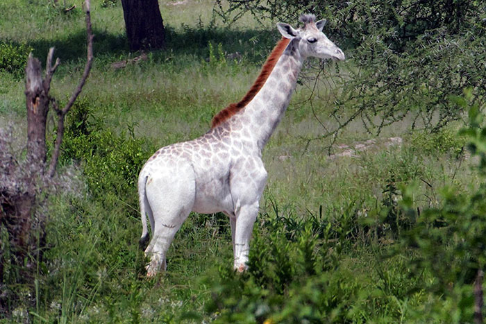 giraffa-bianca-leucismo-albina-animali-rari-omo-tanzania-4