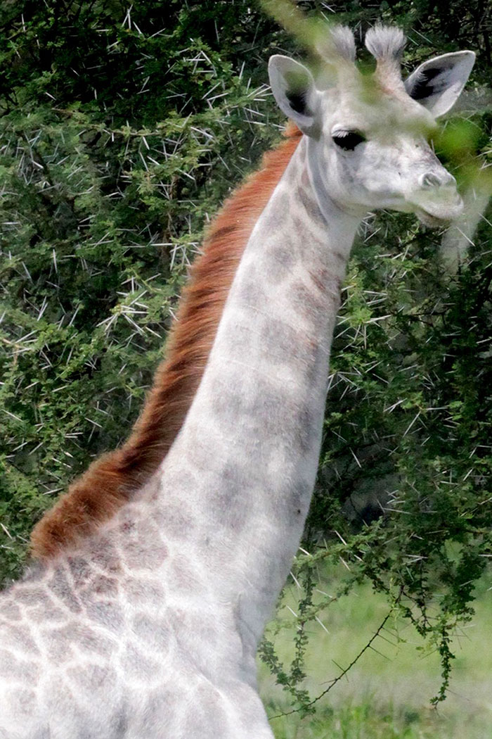 giraffa-bianca-leucismo-albina-animali-rari-omo-tanzania-5