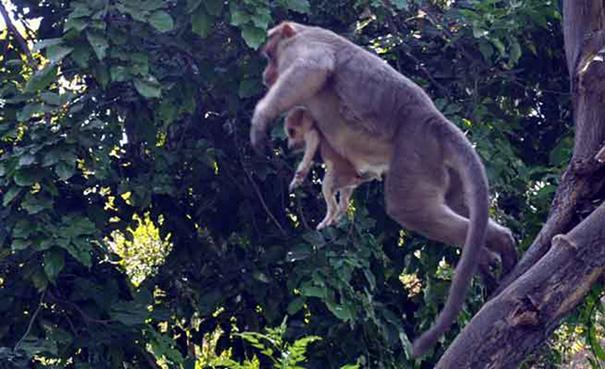 scimmia-adotta-cagnolino-rode-india-01