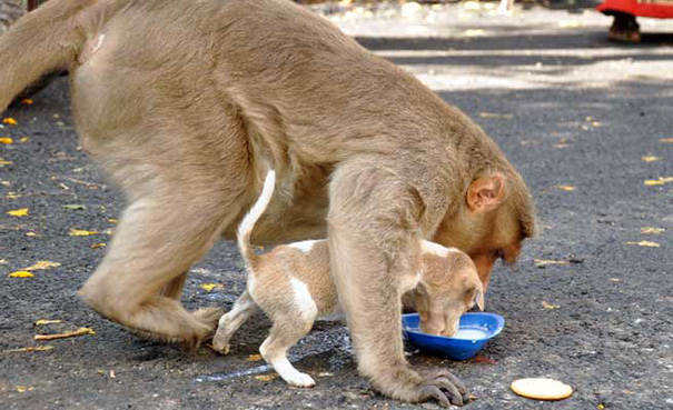 scimmia-adotta-cagnolino-rode-india-02