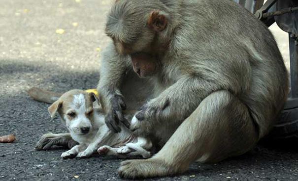 scimmia-adotta-cagnolino-rode-india-03