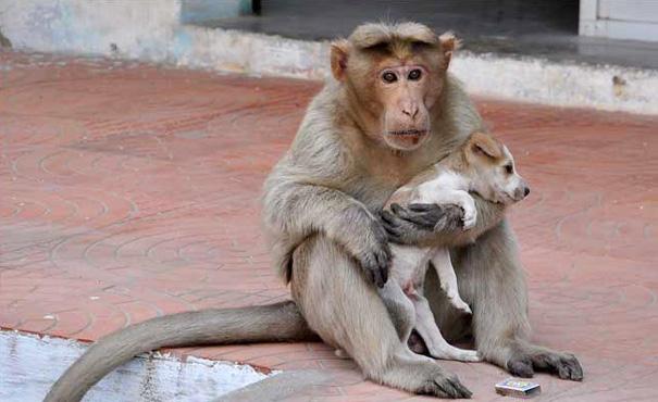 scimmia-adotta-cagnolino-rode-india-04