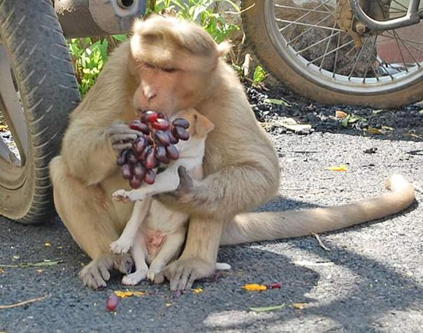 scimmia-adotta-cagnolino-rode-india-05