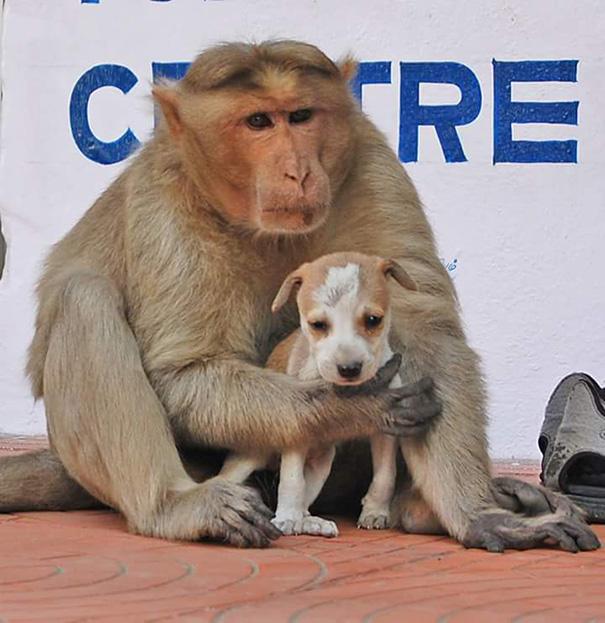 scimmia-adotta-cagnolino-rode-india-06