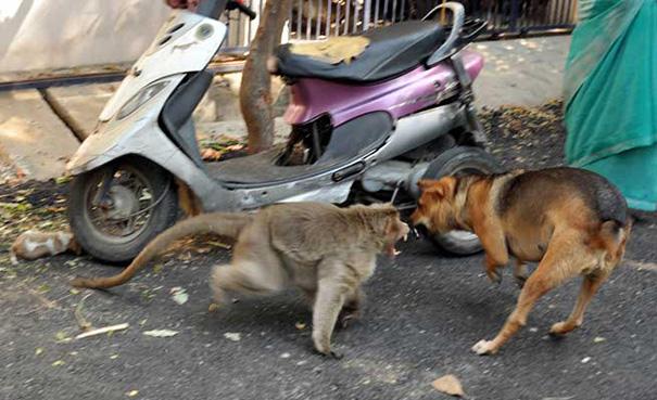 scimmia-adotta-cagnolino-rode-india-07