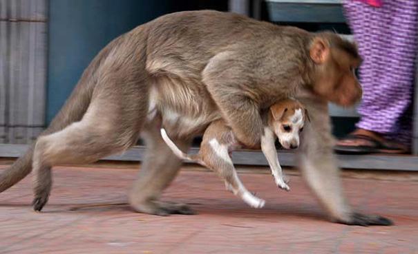 scimmia-adotta-cagnolino-rode-india-08