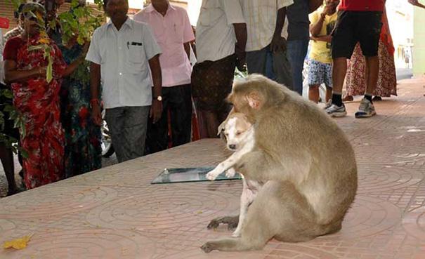 scimmia-adotta-cagnolino-rode-india-09