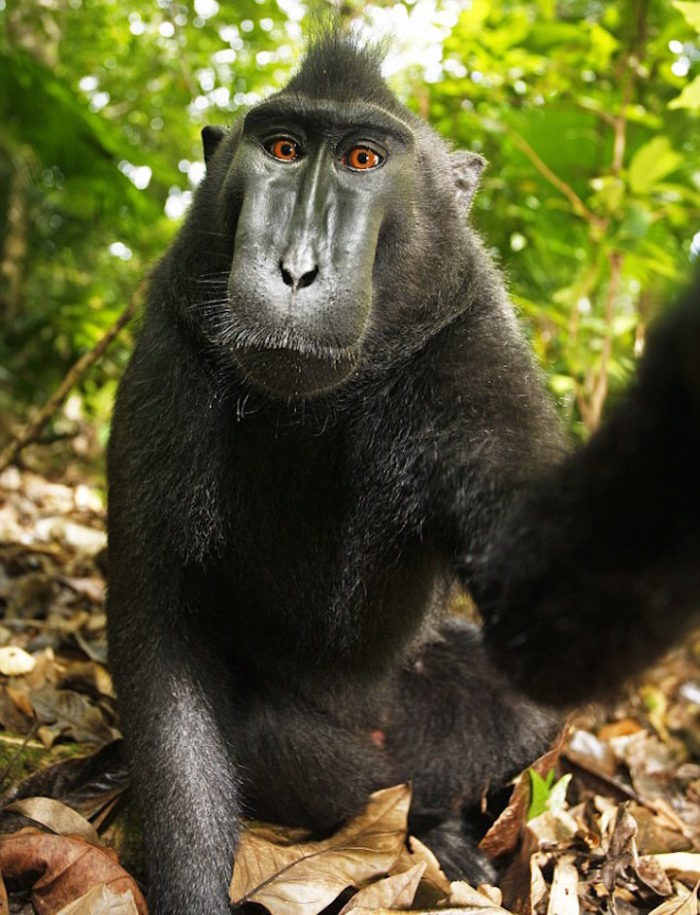 selfie-scimmia-macaco-copyright-2