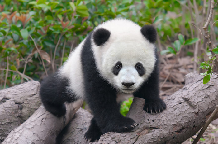 abbracci-coccole-panda-lavoro-cina-2