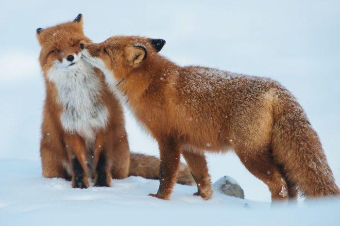 animali-che-si-baciano-san-valentino-02