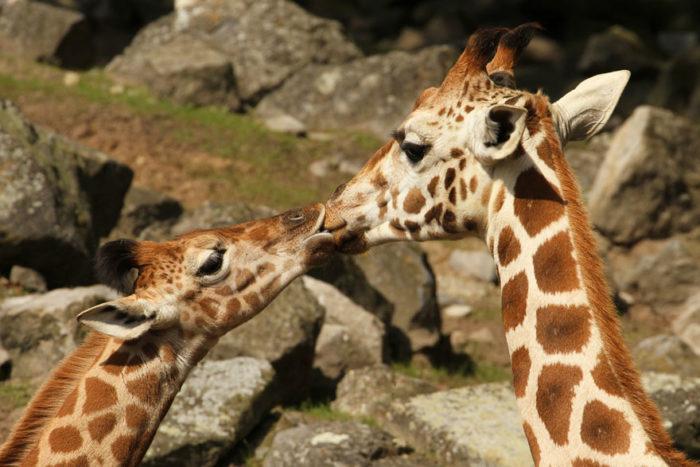 animali-che-si-baciano-san-valentino-11