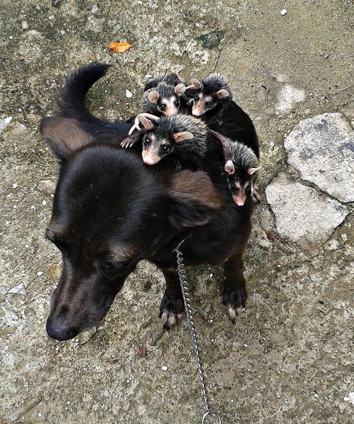 cane-adotta-cuccioli-opossum-orfani-stephanie-maldonado-2