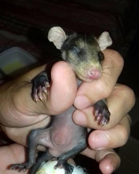 cane-adotta-cuccioli-opossum-orfani-stephanie-maldonado-3