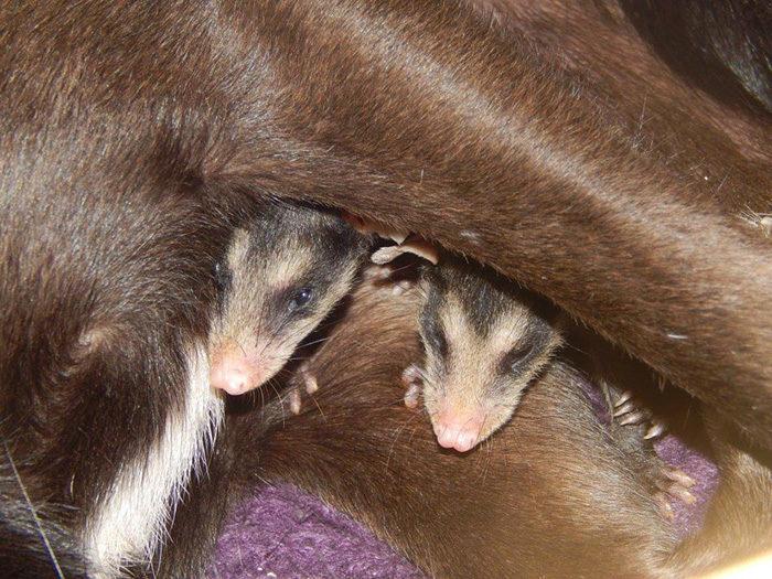 cane-adotta-cuccioli-opossum-orfani-stephanie-maldonado-6