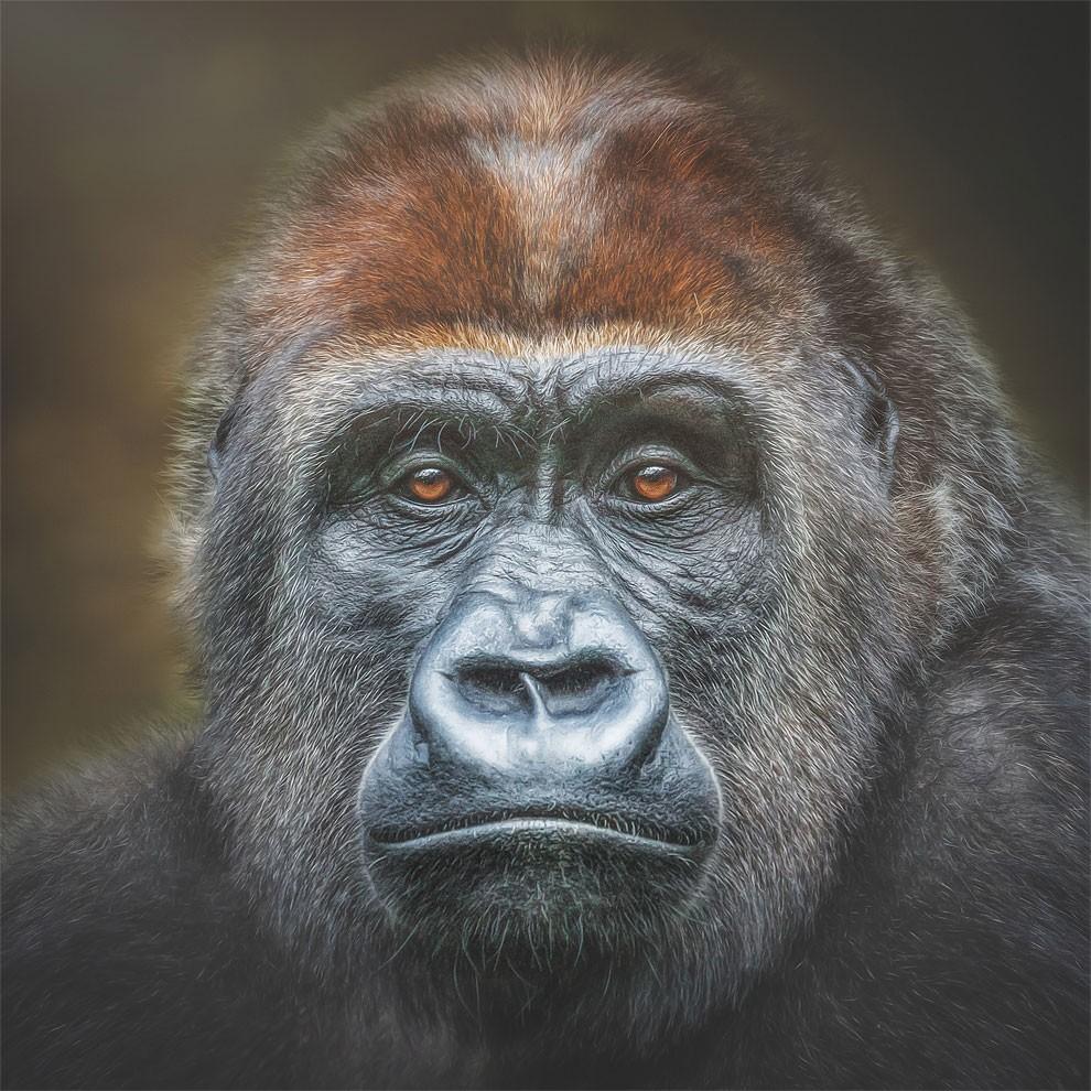 fotografia-ritratti-scimmie-espressioni-umane-manuela-kulpa-03