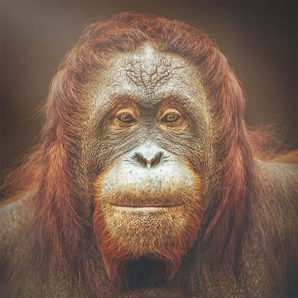 fotografia-ritratti-scimmie-espressioni-umane-manuela-kulpa-05