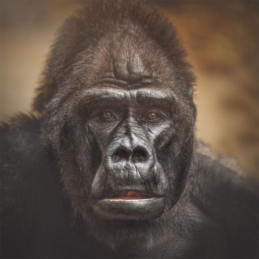 fotografia-ritratti-scimmie-espressioni-umane-manuela-kulpa-06