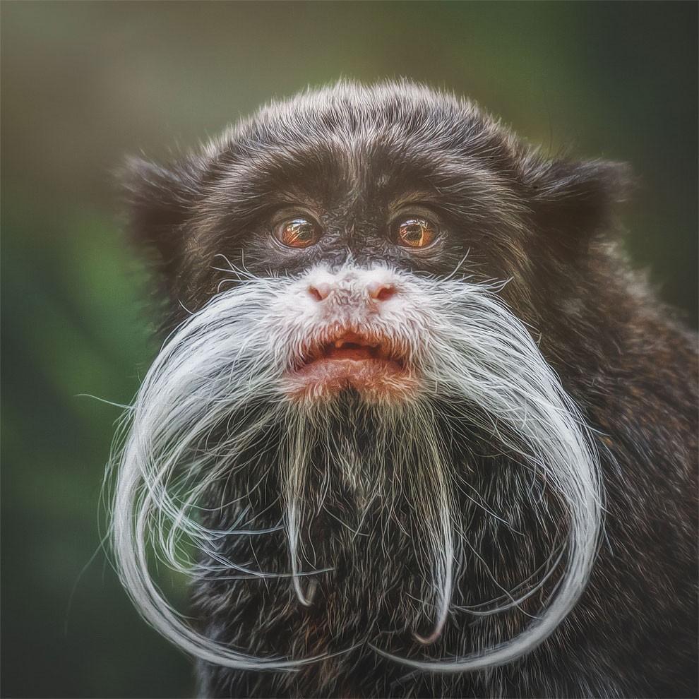 fotografia-ritratti-scimmie-espressioni-umane-manuela-kulpa-07