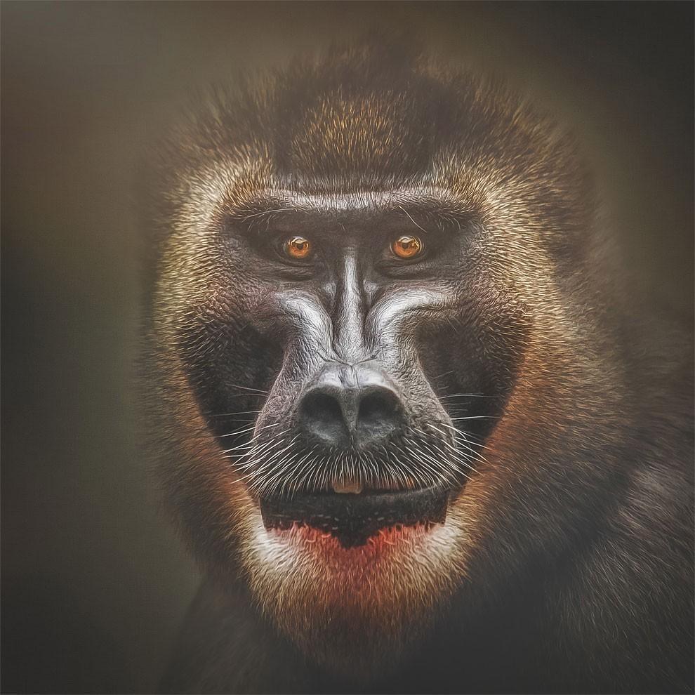 fotografia-ritratti-scimmie-espressioni-umane-manuela-kulpa-08