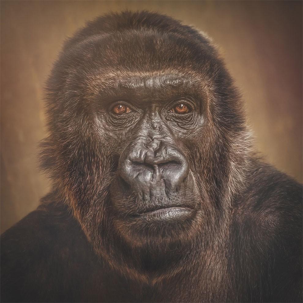 fotografia-ritratti-scimmie-espressioni-umane-manuela-kulpa-09