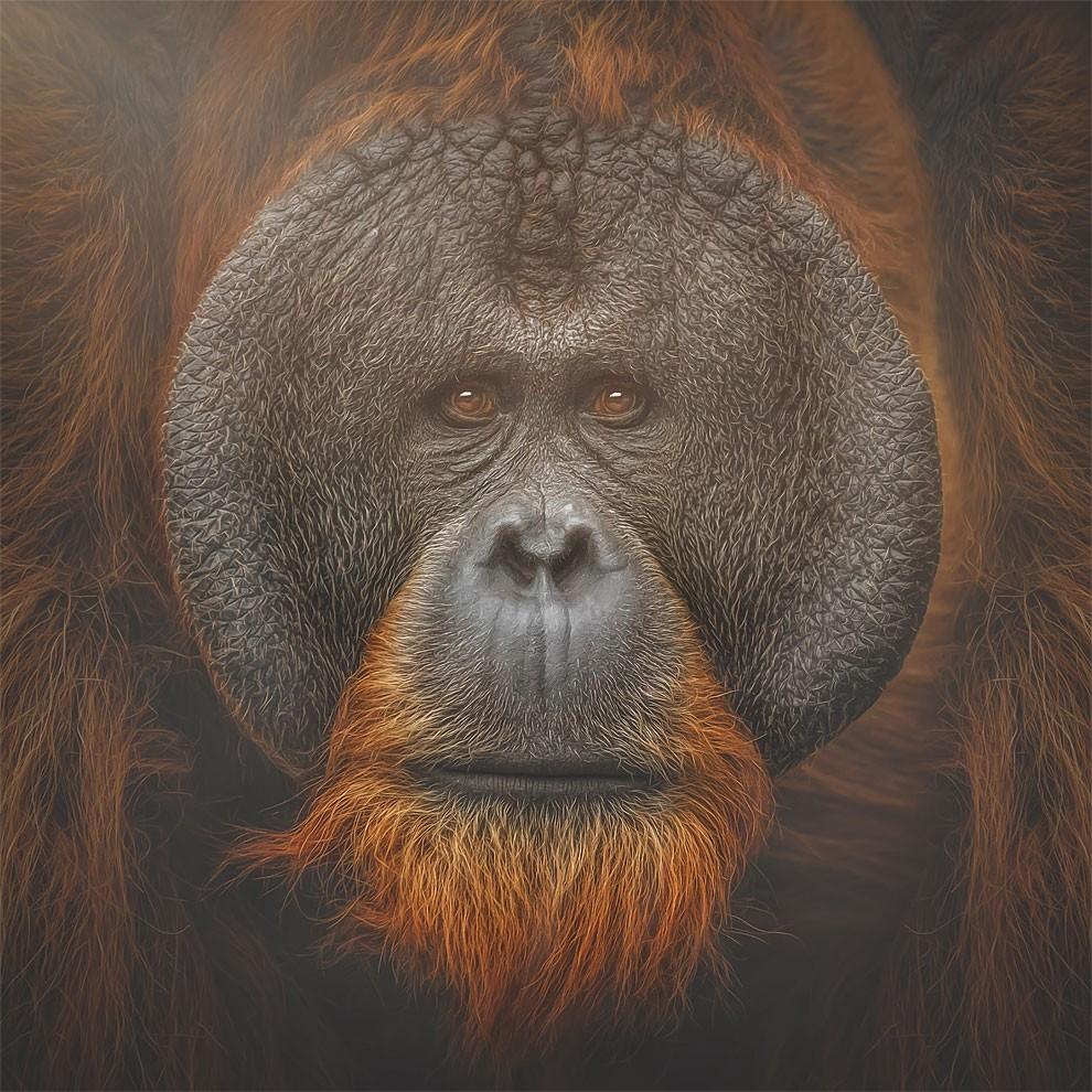 fotografia-ritratti-scimmie-espressioni-umane-manuela-kulpa-10