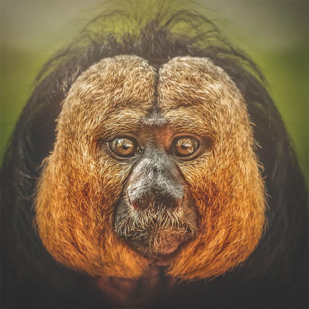 fotografia-ritratti-scimmie-espressioni-umane-manuela-kulpa-12