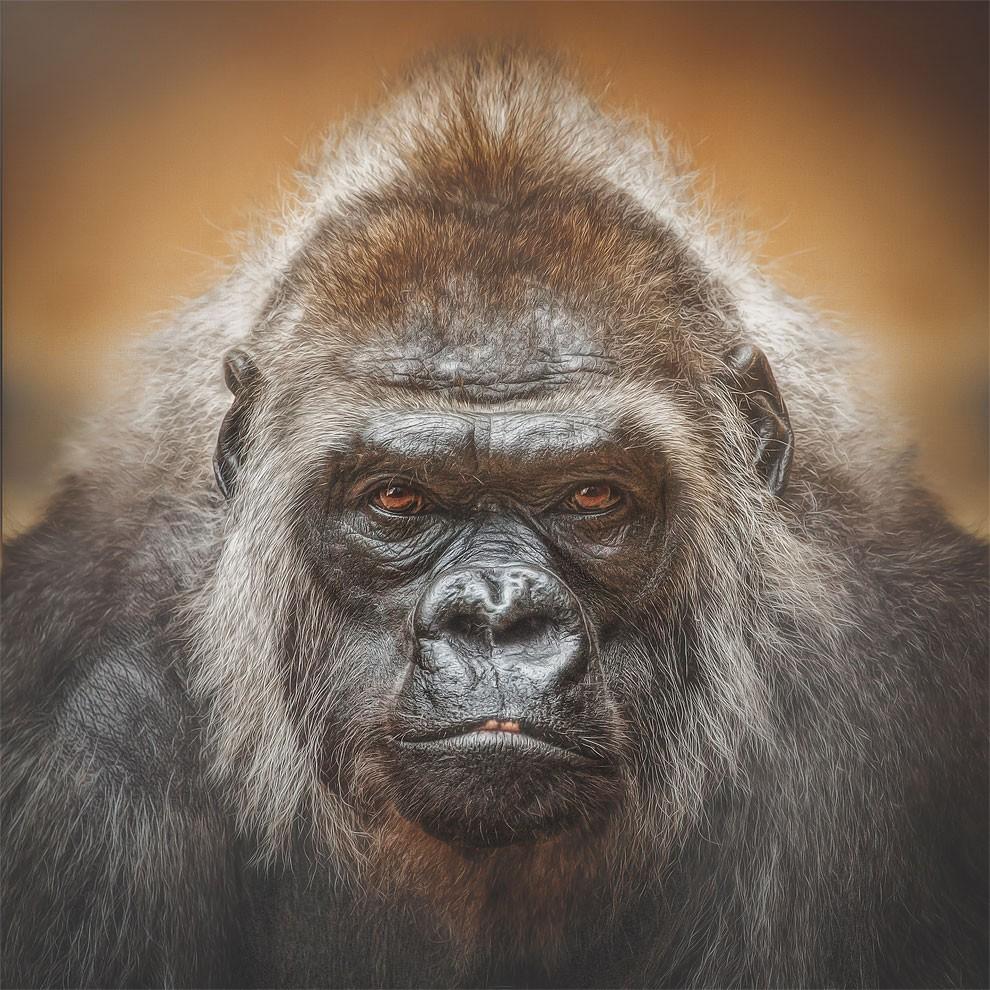 fotografia-ritratti-scimmie-espressioni-umane-manuela-kulpa-13