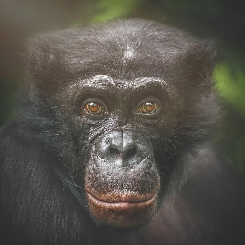 fotografia-ritratti-scimmie-espressioni-umane-manuela-kulpa-14