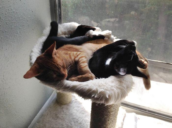 gatti-adottati-dormono-insieme-amaca-barnaby-stoche-02