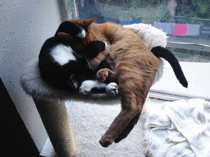 gatti-adottati-dormono-insieme-amaca-barnaby-stoche-06