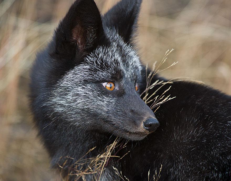 volpe-argentata-nera-02