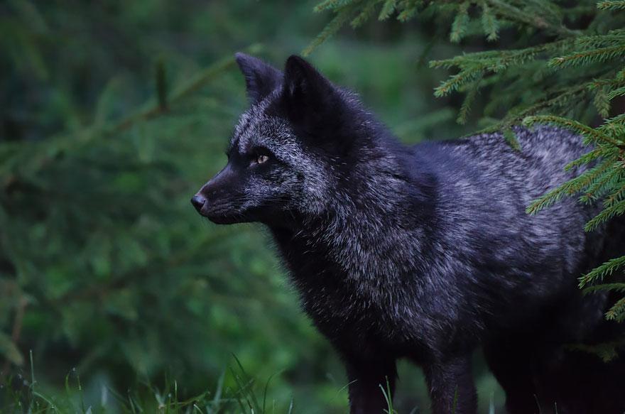 volpe-argentata-nera-10